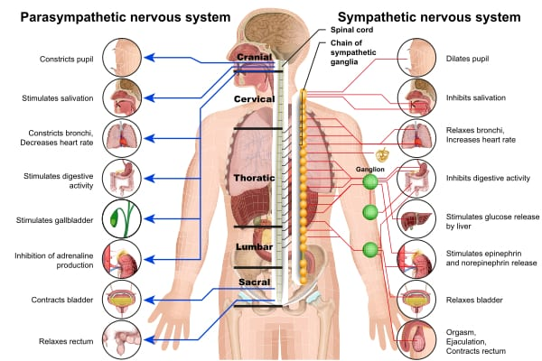 chiropractic | nervous system | Holistic Health Center of Peoria